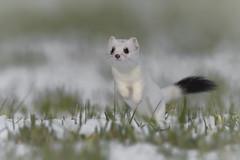 Pures Glück (bertheeb) Tags: hermelin wildtiere nikon d750 500mmvr