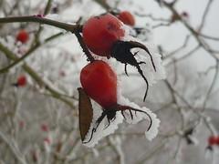 Hagebutten-Fruchtschmuck (Jörg Paul Kaspari) Tags: hosingen centre ösling winter rose rosa hagebutte hagebutten fruchtschmuck schnee snow rot rote red