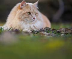 cat (joB-7) Tags: cat sony a7 nature 85mm
