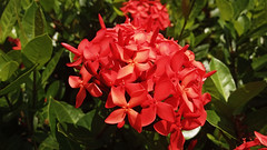 Bunga Soka / Jungle Flame (setiawanap) Tags: setiawanap setiawanapvlog indonesia tanaman tumbuhan daun bunga buah batang plants tree leaf flower fruit soka jungle flame jungleflame bungasoka