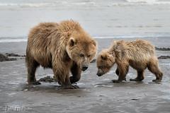 _HB31613 (Hilary Bralove) Tags: lakeclarknationalparkbrownbearsbearsalaskanikonwildlifegrizzlygrizzlybearbrownbearanimalswildlifephotographer alaksa brownbears grizzlybears bear bears grizzly brownbeargrizzly bearlake clarkwildlifealaska wildlifenikonlake clark national park