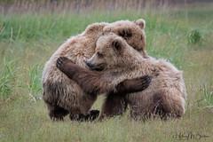 _HB30493 (Hilary Bralove) Tags: lakeclarknationalparkbrownbearsbearsalaskanikonwildlifegrizzlygrizzlybearbrownbearanimalswildlifephotographer alaksa brownbears grizzlybears bear bears grizzly brownbeargrizzly bearlake clarkwildlifealaska wildlifenikonlake clark national park