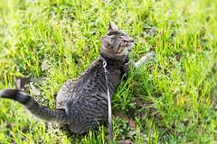 Sasha in the Grass (Fred Merchán) Tags: chat gato minou kitteh lensbabyvelvet56 harness