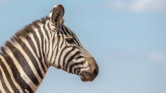 Common Zebra (ovg2012) Tags: africa nature equusquagga canon steppenzebra commonzebra keniaafrika wildlifephotography wildlifephoto kenya wildlife travelphotographer nairobi nairobinationalpark wild animal reisefotografie