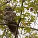 Barred Owl - life bird