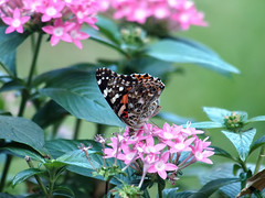 Pretty Visitor (Kaptured by Kala) Tags: vanessacardui paintedlady hodges4435 butterfly insect bug pollinator pollinators orangebrownbutterfly closeup wingsclosed eyespots colorful garlandtexas feeding eating pentas pinkpentas containerplants outsidemywindow pentassp flowers pinkflowers nectar