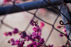 D68_4007 (brook1979) Tags: 台灣 台中 泰安 警察局 櫻花 春天 花季 粉 紫 taiwan taichung flower sakura 八重櫻