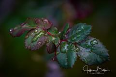 Garden Shots-4182 (Jeffrey Balfus (thx for 4 Million views)) Tags: sonya9mirrorless sonyalpha sonyilce9 fullframe 90mmf28macrogossprimelensmacro sel90m28g flowersplants waterdrops