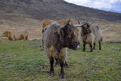 Highland cattle, Isle of Skye  -  (Selected by SHUTTERSTOCK) (DESPITE STRAIGHT LINES) Tags: getty gettyimages heilancoo highlandcow highlandcows kyloe cow cattle heilancoosinscotland highlandcattleinscotland horns day cloud landscape nikon d800 nikond800 nikon2470mm nikkor2470mm paulwilliams despitestraightlines flickr highlands scottishhighlands boghaidhealach brindled fur grass field pasture farm farming hoof hooves dof photo photography frame raw image animal sconser luib lochainort isleofskye lochsligachan lochcairidh shutterstock