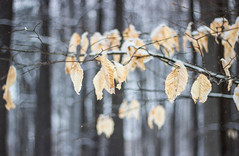 Endurance (soniamarmen) Tags: winter forest snow trees autumn leaves nature