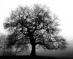 Dancing Tree (oneofmanybills) Tags: tree mist winter gledhow leeds branches black white bw dancing