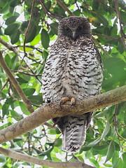 Powerful Owl (Ninox strenua) (Gavin Edmondstone) Tags: ninoxstrenua powerfulowl owl bird centennialpark sydney australia