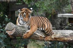 Malayan Tiger - Zoo Prague (Mandenno photography) Tags: animal animals dierenpark dierentuin dieren ngc nature natgeo natgeographic tiger tigers malayan zoo praag prague zoopraque cat cats bigcat big malayantiger