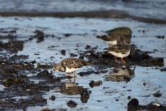 DSC_1731 (nigelsnell) Tags: countydown kinnegar northernireland turnstonearenariainterpres bird birds holywood