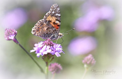 Shipley Gardens 3.16.19 1 (Marcie Gonzalez) Tags: garden gardens flower flowers butterfly butterflies painted lady ladies usa north america orange county socal so cal calif southern california marcie gonzalez marciegonzalez marciegonzalezphotography photography canon ca united states