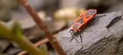 Feuerwanze (Konrads Bilderwerkstatt) Tags: tier insekt wanze feuerwanze käfer natur guido konrad makro foto detail fühler beine stein garten kopf panzer rot schwarz