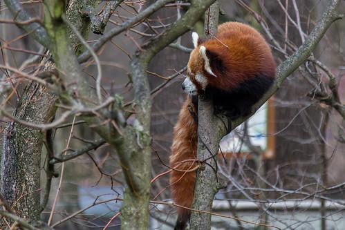 Firefox / Red Panda at Tierpark Berlin