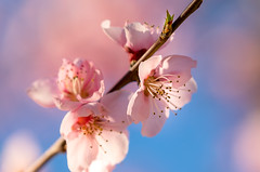 Almond Blossoms 2 (optimalfocusphotography) Tags: northerncalifornia bokeh spring landscape flowers nature flower almondtrees macro backlight orchard california usa