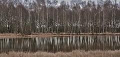 Landgoed Vossenberg - Wijster (Dr) (henkmulder887) Tags: landgoedvossenberg middendrenthe drenthe holland thenetherlands ven vennetje berk berkenbos water schaap schapen rund runderen landschap hetdrentselandschap assen