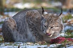 Europäischer Luchs / Eurasian lynx [Lynx lynx] (uwe125) Tags: wisentgehege springe fressen beute luchs katze säugetier raubtier predator tier animal lynx eurasian