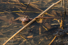 Frog (Jamarem) Tags: frog pond spawn spring attenborough nottinghamshire