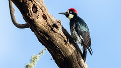 Acorn Woodpecker (Gary R Rogers) Tags: bird acorn tree woodpecker acornwoodpecker