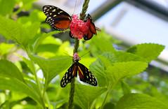 Vacances_0854 (Joanbrebo) Tags: mainau konstanz badenwürttemberg de deutschland canoneos80d eosd autofocus papallona papillon farfalle mariposa butterfly