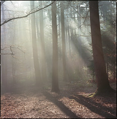 late on Sunday morning (steve-jack) Tags: hasselblad 501cm 150mm kodak ektar 100 film 120 6x6 medium format trees pine forest wood woodland mist rays tetenal c41 kit epson v500