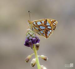 Mariposa en lila (JoseQ.) Tags: mariposa lila macro macrofotografia avila olympus apilado fondo primaver animal insecto bichos alas marron posada