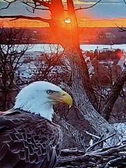 Liberty  - SCREENSHOT - 3-5-2019 (2) (THE Halloween Queen) Tags: eagles eagle wildlife bald baldeagles nationssymbol patriotic