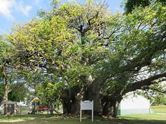 Baobab Tree (D-Stanley) Tags: baobab bridgetown barbados caribbean