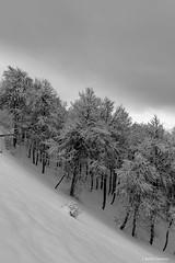 Sesgado (AvideCai) Tags: avidecai bn blancoynegro bosque vertical tamron2470 paisaje arboles nieve invierno