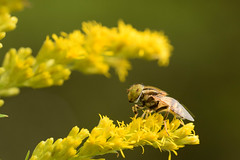 DSC_6707 (Hachimaki123) Tags: 所沢航空記念公園 tokorozawaaviationmemorialpark 日本 japan 所沢市 埼玉県 所沢 tokorozawa saitama animal insect insecto 虫 動物