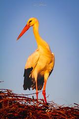 DelPréstamo - 2019   -   1-9 (Del_Préstamo) Tags: naturaleza cigüeñas aves reservanatural