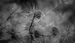 Douceur de Pin (Frédéric Fossard) Tags: monochrome noiretblanc blackandwhite nature forêt forest arbre tree pine pin conifère cône pommedepain fircone pinecone macro flou bokeh profondeurdechamp aiguillesdepain végétal botanique botanic branche
