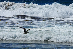 Flight over Surf (Ggreybeard) Tags: tern bird surf flight