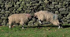 Butt-heads! (nick.linda) Tags: rams sheep conflict rut wildandfree canon7dmkii canon100400mkll mammals