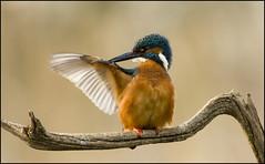 Kingfisher Preening (Craig 2112) Tags: kingfisher alcedoatthis wild lincolnshire preening bird male