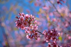 Cherry Blossom (yamabuki***) Tags: dsc5822 cherryblossom 桜 横浜イングリッシュガーデン