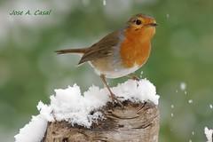 Esta nevando !!!! (Jose A. Casal) Tags: petirrojo erithacus rubecula