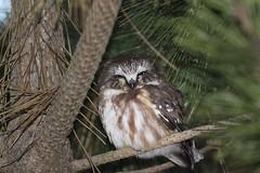 More Saw Whet (bigolemrkanish) Tags: northernsawwhetowl owl owls bird birdsofprey raptors long island longisland longislandwildlife new york newyork wildlife wildlifephotography