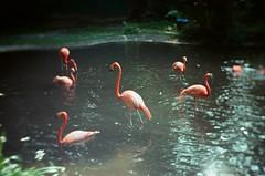 Ektar 100 (expired) (azusa.bi) Tags: fm2 film kodak ektar100 hk hongkong kfbg kadoorie farm 嘉道理農場 bontanic plants flowers spring petzval artlens flamingo
