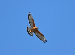 Red shouldered hawk (charlescpan) Tags: