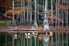 Backwaters (ShutterByMe) Tags: autumn bayou bigcypressbayou caddolake caddolakestatepark cypresstrees fall foliage forest karnacktexas lake landscape river spanishmoss statepark swamp texas trees tx water wetlands wilderness