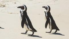 Brillepingvin, African penguin, Brillenpinguin  (Spheniscus demersus) (Kenneth Gerlach) Tags: afrika fall flowersplants pingvin portelizabeth southafrica sydafrika wildlife capetown westerncape za