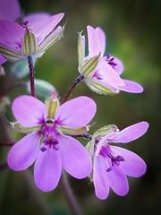 Chiquitas (TyroCharm) Tags: flowers pink nature summer spring tyrocharm wildflowers superbloom closeup floweroftheday garden desert littleflowers
