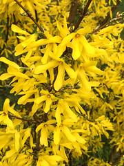 Yellow and more yellow (Shotaku) Tags: garden bush shrub bushes shrubs flowers flower spring blooms blooming plants plant forsythia yellow