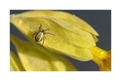 Minie ! (Gérard Boisnard) Tags: nature insectes araignées fleurs