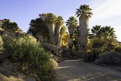 (maknsandwiches) Tags: joshua tree national park canon california ca palm cotton wood river bed sand december bush trees sky morning sunlight yellow gold landscape green oasis desert