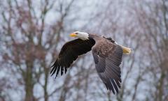 ZeeArend3 (Borreltje.com) Tags: zeearend baldeagle eagle bird birds vogel vogels topvogel birdofprey birdsofprey